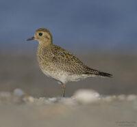 Pioviere dorato (uccello) visto lateralmente
