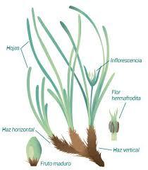 Disegno della pianta posidonia oceanica con fusto, foglie fiore e frutto